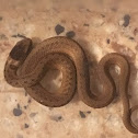 Texas Brown Snake