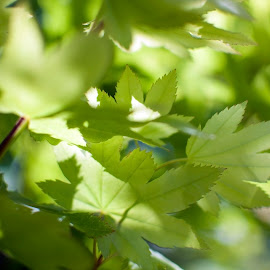 Sun n' Shade by Marilynn Court - Nature Up Close Leaves & Grasses ( plant, washington, may, dappled, tree, green, branch, twig, leafy, vegetation, shade, leaves, spring, sun, maple )