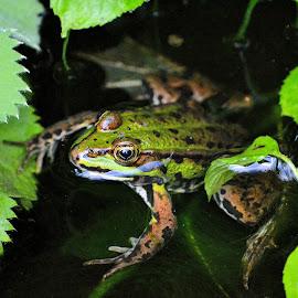 Froggie by Heather Aplin - Animals Amphibians
