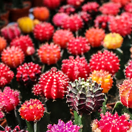 The   colorful  Atrichoke Cactus by W.raaguman Wasilah - Nature Up Close Other plants