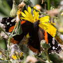 Red Admiral;