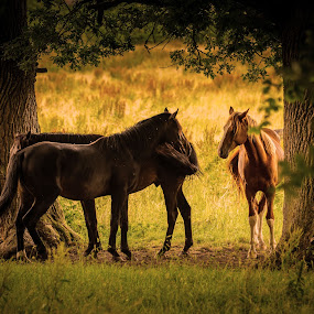 Horses in the shade by Jocke Mårtensson - Animals Horses ( horses, grass, summer, trees, shade,  )