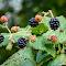 Gold Stream Park Black Berrys 19 08 18.jpg