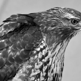 by Marco Bertamé - Black & White Animals ( bird, bird of prey, red tailed hawk, beak, one eye, fethered, feathers )