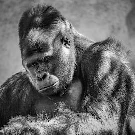 Silver Back Gorilla by Justin Mckinney - Animals Other Mammals ( ape, silver, white, gorilla, back, primate, mammal, black, animal )