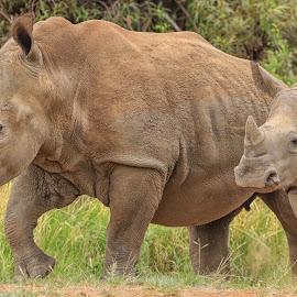 White Rhino by Dirk Luus - Animals Other Mammals ( white, wildlife, rhino, mammal, animal )