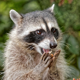 Raccoon 9023 by Raphael RaCcoon - Animals Other Mammals