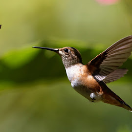Wee HummerFun by Raphael RaCcoon - Animals Birds ( bird, color, hummingbird, humming bird, hummer )