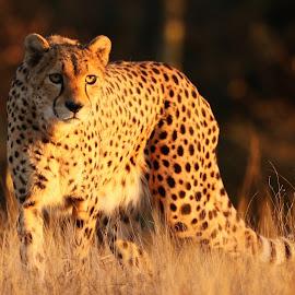 Golden hour cheetah by Tazi Brown - Animals Lions, Tigers & Big Cats ( cheetah, spots, cat, evening sun, golden hour )
