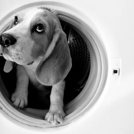 by Duarte Nuno - Animals - Dogs Puppies ( beagle, duartenuno, dogwash, portugal )