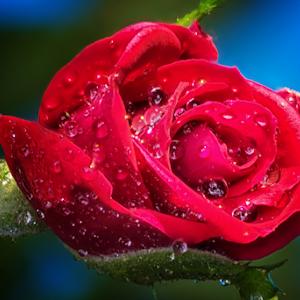 DSC_7512-Rose_Bud.jpg
