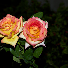 beautiful roses by LADOCKi Elvira - Flowers Flower Arangements ( rose, nature, flowers, garden )