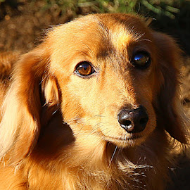 Golden Jamie by Chrissie Barrow - Animals - Dogs Portraits ( red, dachshund (miniature long haired), pet, ears, fur, sunshine, dog, nose, tan, portrait, eyes )