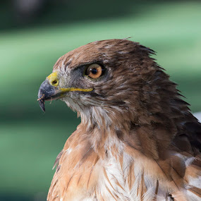 Red Tailed Hawk by Janet Marsh - Animals Birds ( hgames,  )