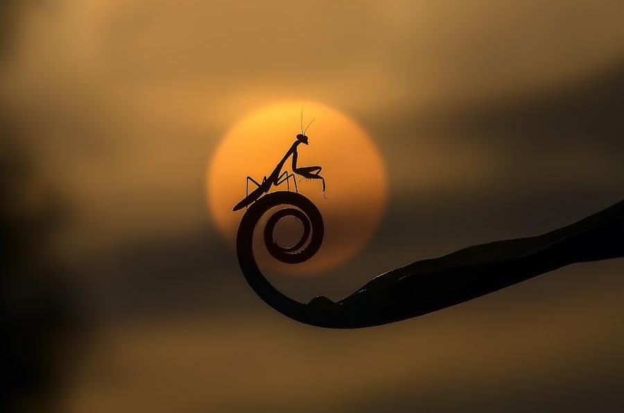 Kungfu Mantis by Boim Wahyudi - Animals Insects & Spiders ( macro, sunset, siluet, mantis, animal )