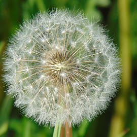 Dandelion by Predrag Videnović - Nature Up Close Gardens & Produce ( the nature, flower in the garden, blow away, the seeds that fly, dandelion )
