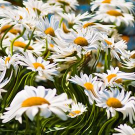 Dizzy Daisy by Chris Cavallo - Digital Art Things ( daisies, flowers, green, white, yellow, digital art )