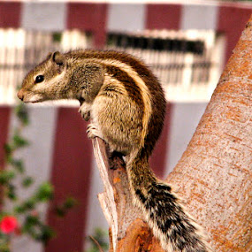Indian Garden Squirrel a.k.a Indian Chipmunk by Anurag Bhateja - Animals Other ( chipmunk, india, squirrel )