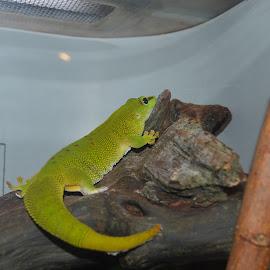 Giant Madagascar Gecko by Michele Kelley - Novices Only Wildlife ( gecko, green, wildlife, animal, giant )