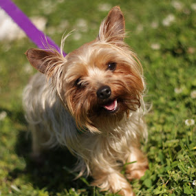 Yorkie by Linda Hodges - Novices Only Pets ( yorkie, furball, dog, teacup )
