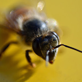 Bees Face by Jared Van Bergen - Animals Insects & Spiders ( macro, bee, yellow, insects, hair, photography )