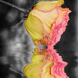 Wet rose on black background by Gérard CHATENET - Digital Art Things