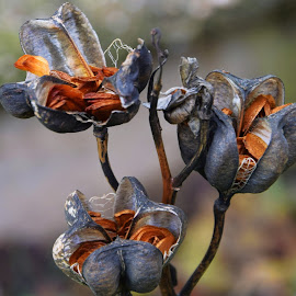lily seeds by LADOCKi Elvira - Nature Up Close Gardens & Produce ( nature photo )