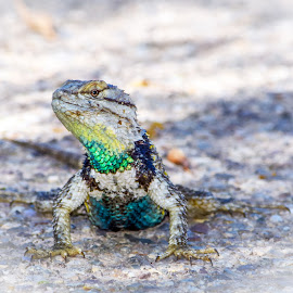 Desert Spiny Lizard by Dawn Hoehn Hagler - Animals Reptiles ( tucson, arizona, garden, desert spiny lizard, reptile, lizard, tohono chul park )