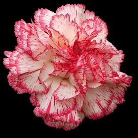 Carnation......... by Silvia Sandrock - Flowers Single Flower ( still life, carnation, flowers, flower photography )