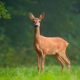 Mrs. Deer by Blaž Ocvirk - Animals Other Mammals ( deer )