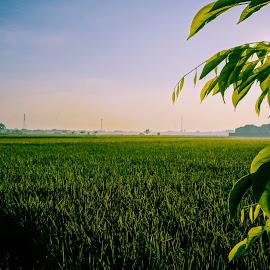 Sawah Pinggiran by Ichsan Ralendy - Landscapes Prairies, Meadows & Fields ( sawah, ricefields, sunrise, morning, landscape )