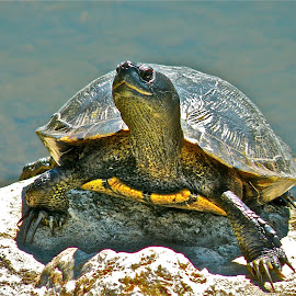 Sunning Turtle by Laura Luchsinger - Animals Amphibians