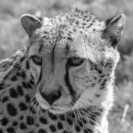 Ares by Garry Chisholm - Black & White Animals ( nature, mammal, cheetah, big cat, garry chisholm )