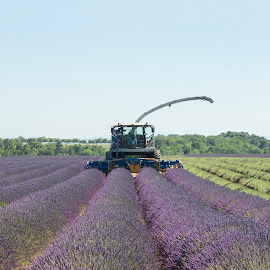 Raccoglimento by Mauro Amoroso - Landscapes Prairies, Meadows & Fields ( provence, lavanda, france )