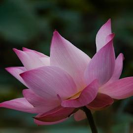 Glamorous by Steven De Siow - Flowers Single Flower ( lotus flower, pink, lotus, pink flower, flower,  )