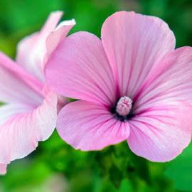 En rosa. by Lourdes Ortega Poza - Flowers Flowers in the Wild ( silvestre, naturaleza, flor, rosa, verano )