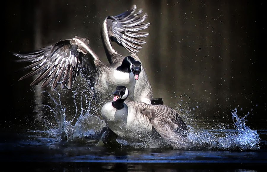Fight by Pat Hartley - Animals Birds