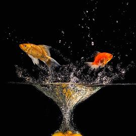 jumper fish by Tt Sherman - Digital Art Things ( orange, splash, fish )