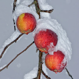 Early Winter by Twin Wranglers Baker - Food & Drink Fruits & Vegetables ( apple tree, winter, snow, apples, apple tree with snow,  )