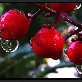 drops of red by Suzy Sutton - Nature Up Close Natural Waterdrops