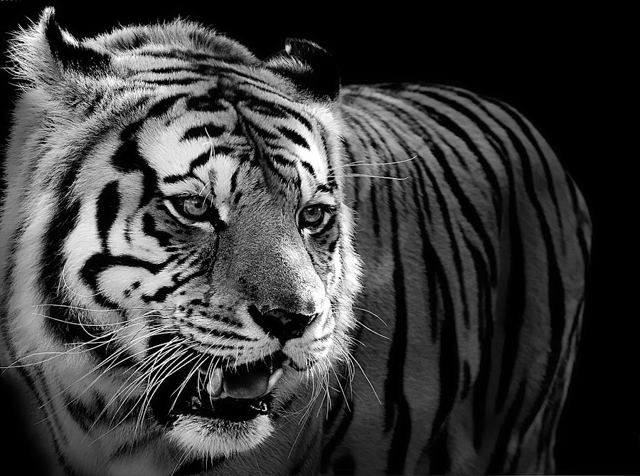 by Shawn Thomas - Black & White Animals