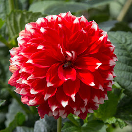 by Janet Marsh - Flowers Single Flower ( dahlias, red and white )