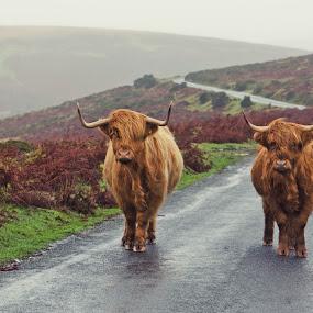 Highland Cattle on Dartmoor by Alex Graeme - Animals Other Mammals ( dartmoor )