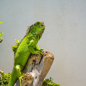 Iguana Verde Ian Rango  by Alighieri Rizo - Animals Reptiles ( iguanas, mascota, iguana, verde, reptil )