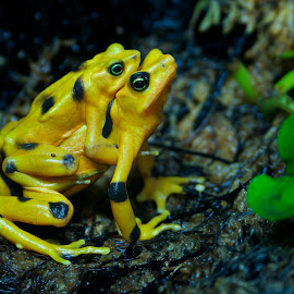 Panamanian Golden Frogs (Atelopus zeteki) mating by Wade Tregaskis - Animals Amphibians ( atelopus zeteki, zoo, frog, panamanian golden frog, golden frog, courting, mating, frogs, panamanian golden )