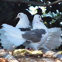 Fantail Pigeons
