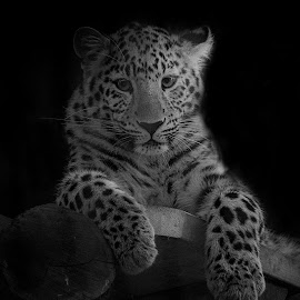 Amur Leopard portrait in B+W by Fiona Etkin - Black & White Animals ( leopard, feline, black background, mammal, nature, animal, black and white, big cat, spotted )