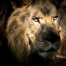 Shadow 1 by Gregg Pratt - Animals Lions, Tigers & Big Cats