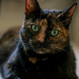 Look into my eyes by Stuart Harris - Animals - Cats Portraits ( cat, portrait )