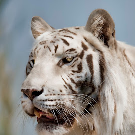White tiger two by Lisa Coletto - Animals Lions, Tigers & Big Cats ( cat, white tiger, tiger, head shot, feline, mammal )